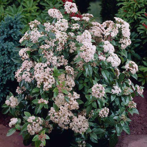 Viburnum tinus eve price laurier tin est un arbuste feuillage persistant vert fonc viburnum - Arbuste fleurs blanches feuillage persistant ...