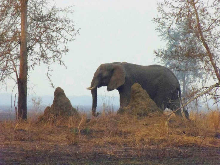 Two icons usually seen on the Gorongosa landscape: elephant and termite mounds.  Photo by Margarida Carneiro. http://on.fb.me/Rd8792