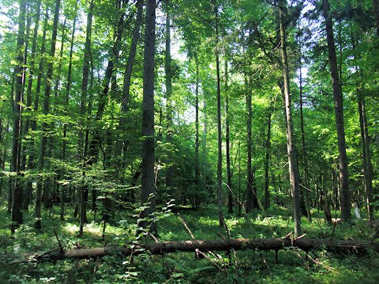 Bialowieza Forest: The forest has remained unmolested because for centuries it was used as hunting grounds for the Polish nobility.