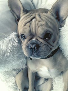 Rosco, a one year old little frenchie by Marci