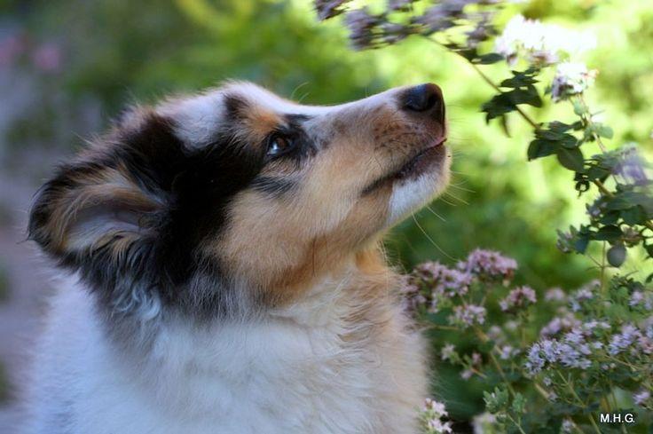 Puppies - Sheltie Nation