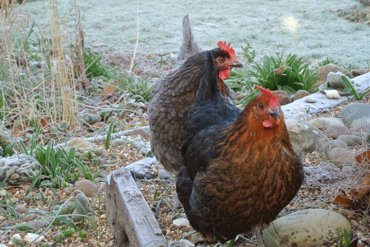 Frosty chickens