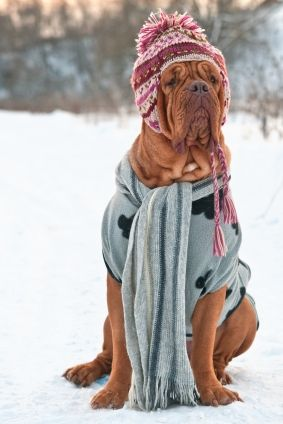 Awe...I don't usually like people who dress- up animals but this is too funny  ...Dogue de Bordeaux