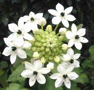 Ornithogalum arabicum (Arabian Starflower)Fin liten blomma med svart mitt... Kan bli fint att blanda med vita rosor...