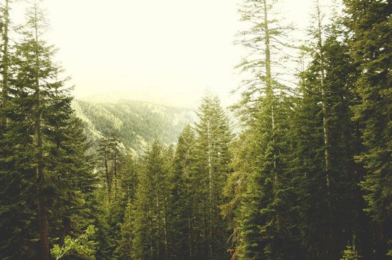 1000 Images About Pine Trees On Pinterest