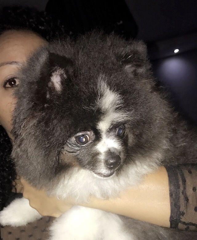 """Luna, significa """"Lua"""", """"a iluminada"""", """"a feminina"""", apenas Luna ! #SpitzAlemao #MinhaLuna #TransbordandoDeFelicidade #SóQuemTemEntende #BemVindaMinhaLinda #MiniPanda #MinhaUrsa 😍❤️🐶 Lulu da Pomerania 😍 Lulu da Pomerania, Spitz Alemão Anão, Luna, Caninos, Dog, Amigos, Peludos 🐶💕🐶"""