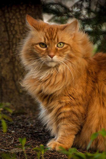 My Orange Cat | Flickr: Intercambio de fotos