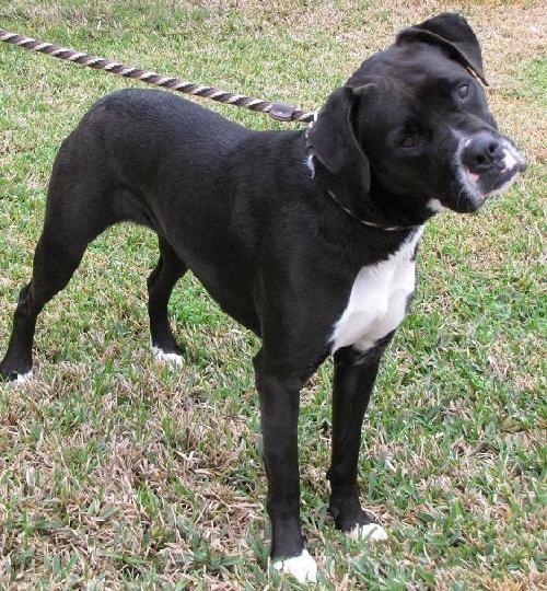 beautiful black boxer dog mans best friend boxer