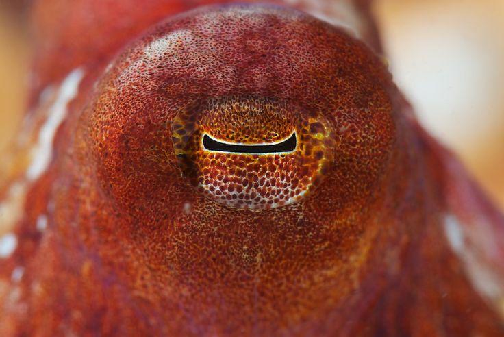 вид позаимствовала картинки осьминога глаза виды