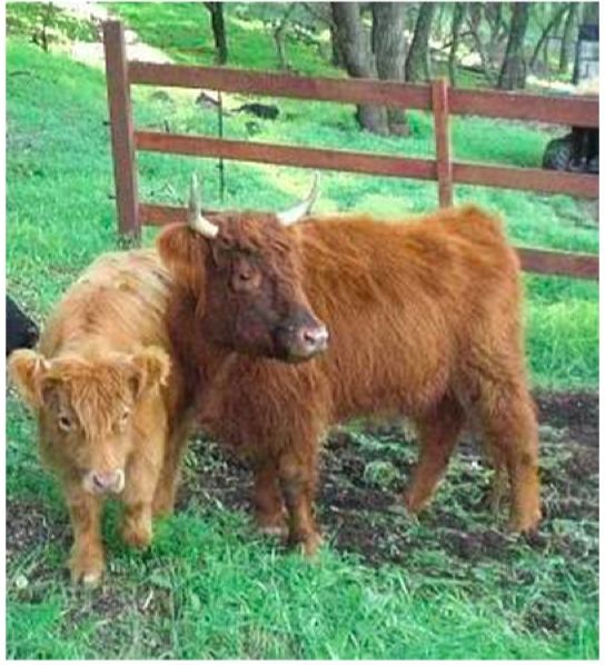 """This post gives background information on raising miniature cattle and describes with photos 10 breeds of miniature cattle.   """"Mini-Cows""""  M..."""