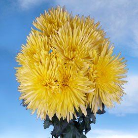 Chrysanthemums Yellow Fuji Spider Mums 50 Flowers - http://yourflowers.us/chrysanthemums-yellow-fuji-spider-mums-50-flowers-2/