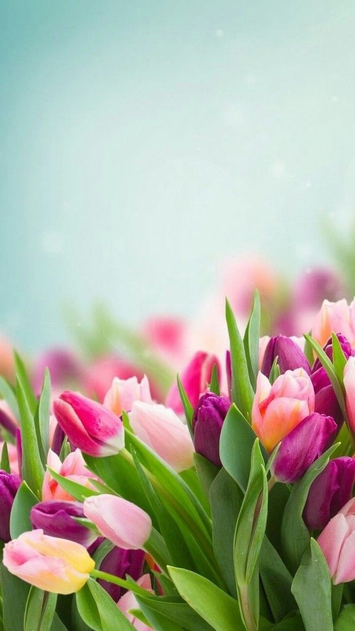 Pink Purple And Yellow Tulips Blurred Background Phone Wallpaper Happy Spring Images Flower Wallpaper Flower Background Iphone Tulips Garden
