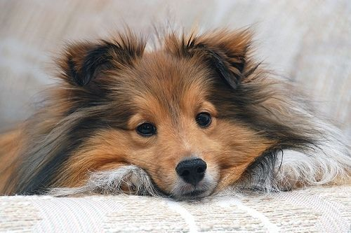 Cute Sheltie Photos | beautiful, cute, dog, pet, sheltie, shetland sheepdog - inspiring ...