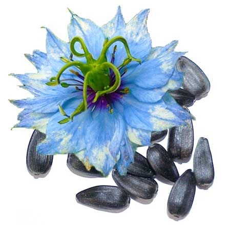 Nigella sativa or Black Seed has long been known for its medicinal value. The ancient Egyptians and Assyrians recognized the power of this healing herb as early as 3000 years ago. Its oil, which has a rich composition of more than 100 compounds including essential fatty acids, vitamins and minerals.