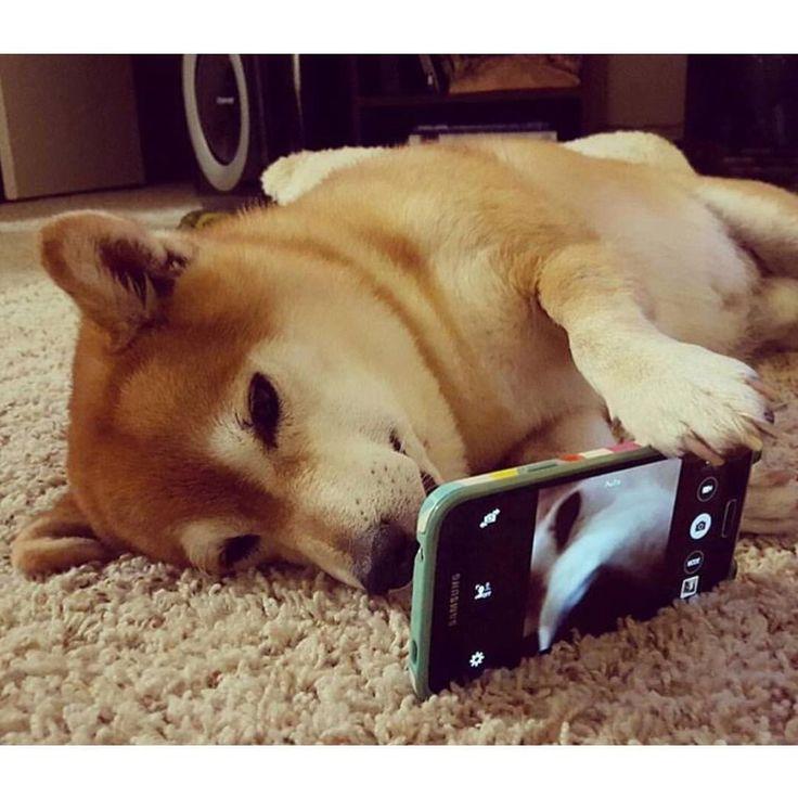 柴スナップ sur Instagram : Selfie Shiba⇨@dailydoseofyosh⇦ 可愛い角度は自分が1番知ってるワン # #Selfie…