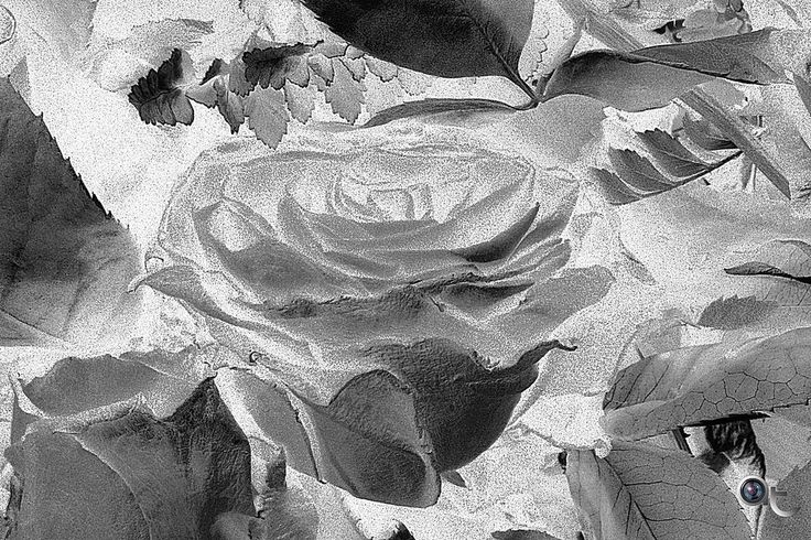 A #rose in #blackandwhite #nikontop #flowers #andreaturno