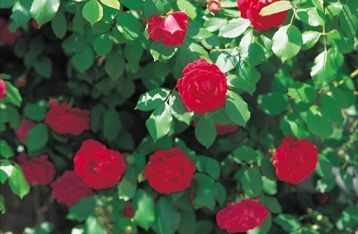 Double Knockout Roses  Double knockout roses beautify every landscape in spring with their large, double petaled blooms. Requiring less maintenance and resistant to common rose diseases, these improved knockout rose varieties are excellent performers for any type of soil. Read on.  Read more at Buzzle: http://www.buzzle.com/articles/double-knockout-roses.html