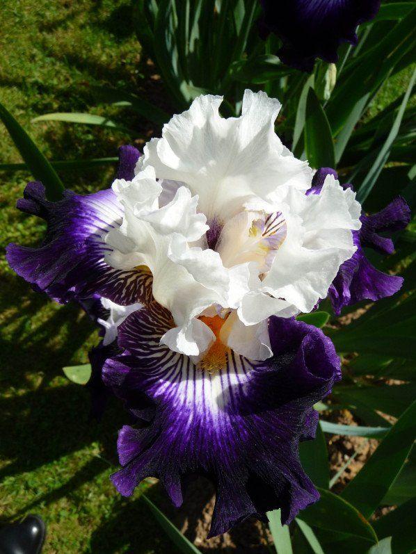 17 meilleures id es propos de iris fleur sur pinterest nature verte garden oasis et fleur - Desherbant naturel puissant ...