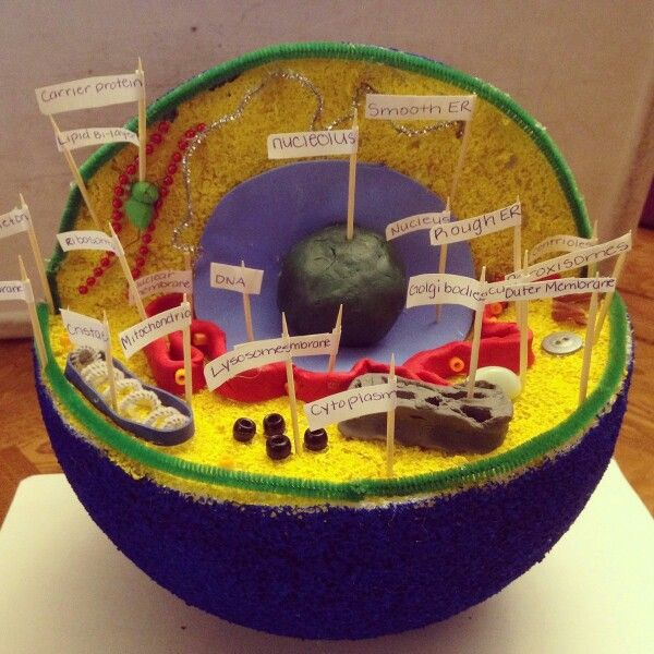 Animal Cell Model | Animal cell project, Cell model ...