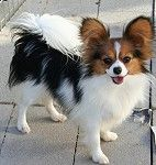 Papillon Puppy of Forevr