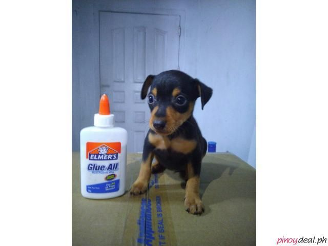 Mini Pin Pincher Pinscher Cute For Sale Rush In 2020 Pinscher
