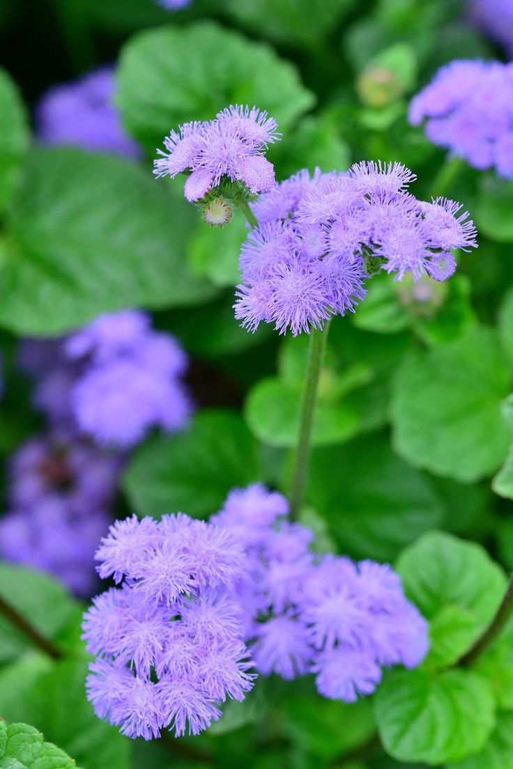 Ageratum Houstonianum Also Known As Floss Flower Has Been Widely Mosquito Repelling Plants Mosquito Repellent Backyard Plants