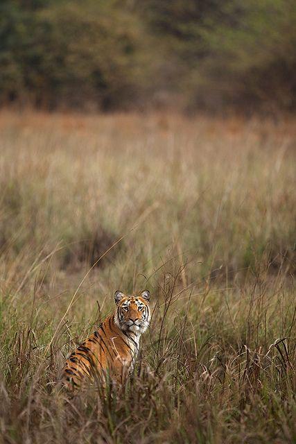 #Tigers #Animals #Wildlife #Big #Cats