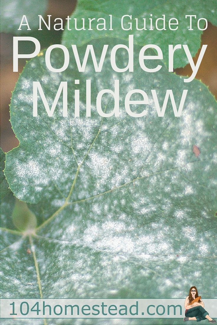 Powdery mildew is one of the most common garden problems and it affects gardeners from coast to coast. Enjoy these natural powdery mildew treatments.: