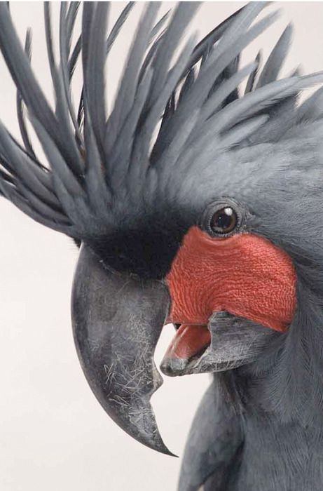 Palm Cockatoo. There beak can cut through an adult's finger. One of the few animals that can break a Pandanus nut.