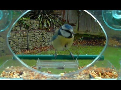 Robin and Blue Tit on the window bird feeder part 2