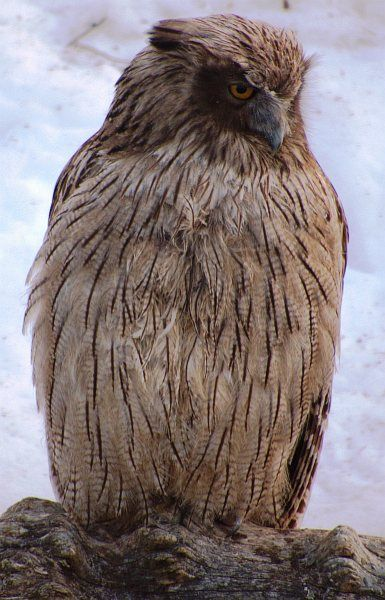 "Blakiston's Fish Owl (Bubo blakistoni) is one of the rarest owls in the world, an endangered bird restricted to Russia, China, Japan and possibly North Korea. This owl is also the largest on Earth. ""These birds stand two-and-a-half feet tall [75 centimeters], have 6-foot wingspans [2 meters] and can weigh more than 10 pounds [4.6 kilograms]. 