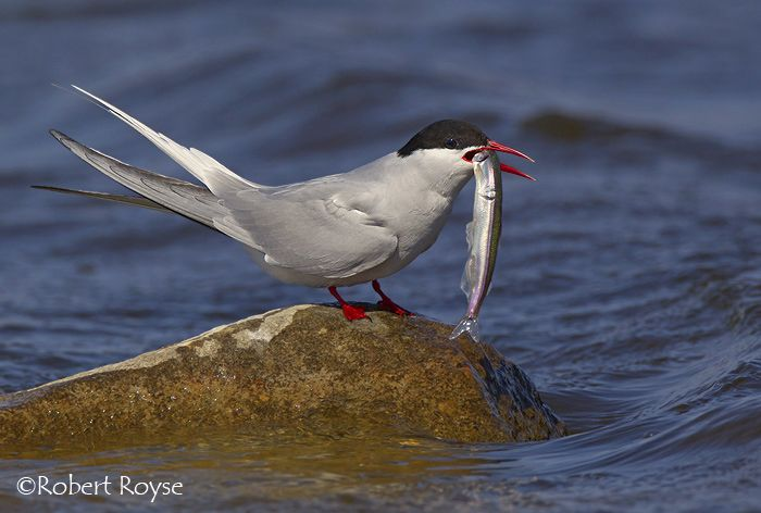 32 best Arctic Tern images on Pinterest | Arctic tern ...
