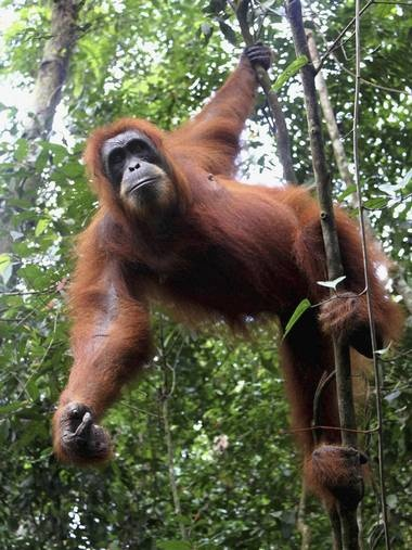 Fires raging unchecked in an Indonesian peat swamp forest could wipe out the remaining Sumatran orang-utans which live there, conservationists are warning. The forest is one of the last refuges of the great apes. The illegal fires, started by palm-oil companies clearing land to plant the lucrative crop, are believed to have killed at least 100 orang-utans – one-third of those living in the Tripa swamp, on the west coast of Sumatra's Aceh province.