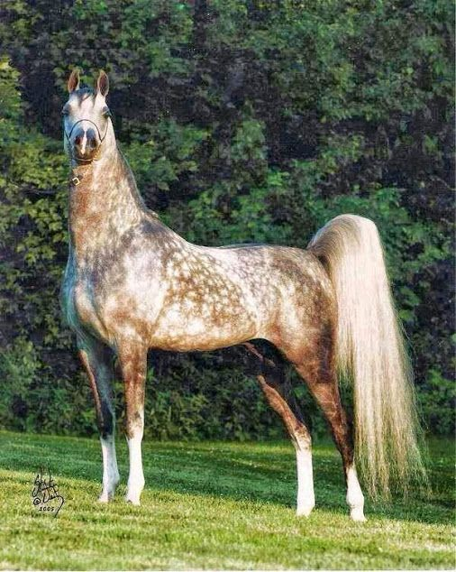 This dapple grey sabino Arabian has an amazing presence. No name or identification, but Stuart Vesty is the famous photographer.