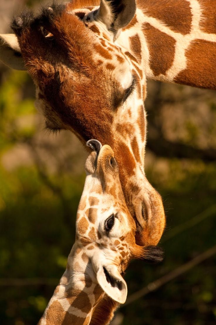 happy mothers day!: Animal Planets, Love You, Mothers Day, Ashby Photography, Happy Mothers, Giraffes Animal, Baby Giraffes, Giraffes Kiss, Giraffes Photo