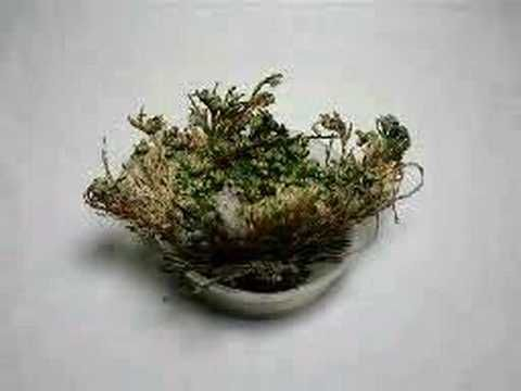 Cool kids project for Easter, the Resurrection Plant