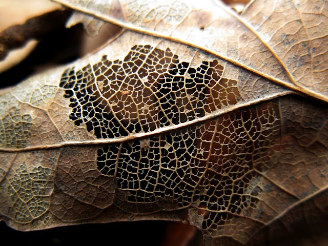 Here's a closeup of the intricate webbing of fibers being exposed by time and decay on a maple leaf in southern Illinois in December. Soon, this leaf will be nothing but a skeleton, and then it will be soil again soon after that.