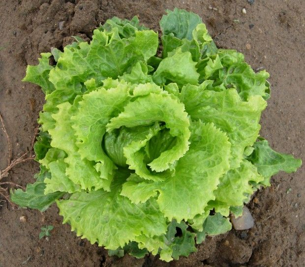 Lechuga: cultivo para principiantes   Planeta Huerto