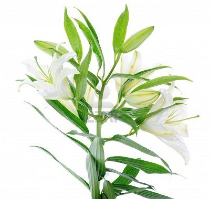 17 meilleures id es propos de tatouage fleur de lys sur - Lys blanc signification ...