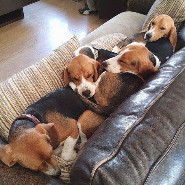 4 Beagles Snuggling On The Couch Beagle Puppy Beagle Beagle Dog