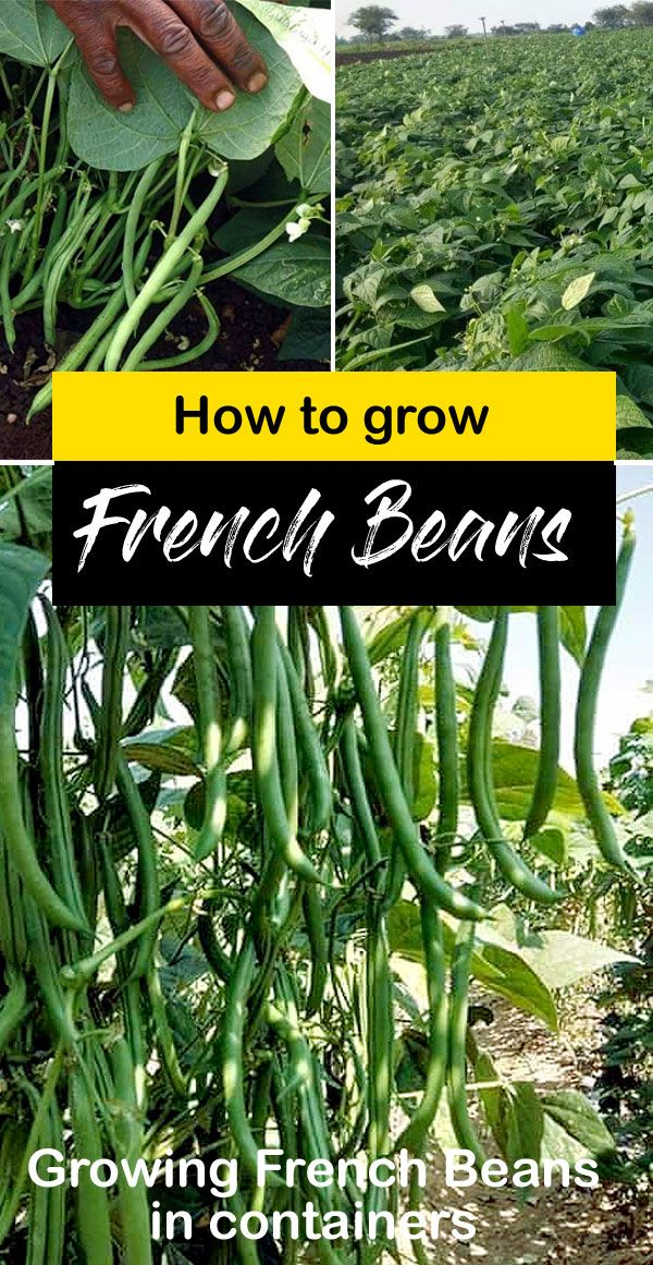 Growing Green Beans In Your Garden Seed To Harvest Growing Green Beans Planting Green Beans Easy Vegetables To Grow