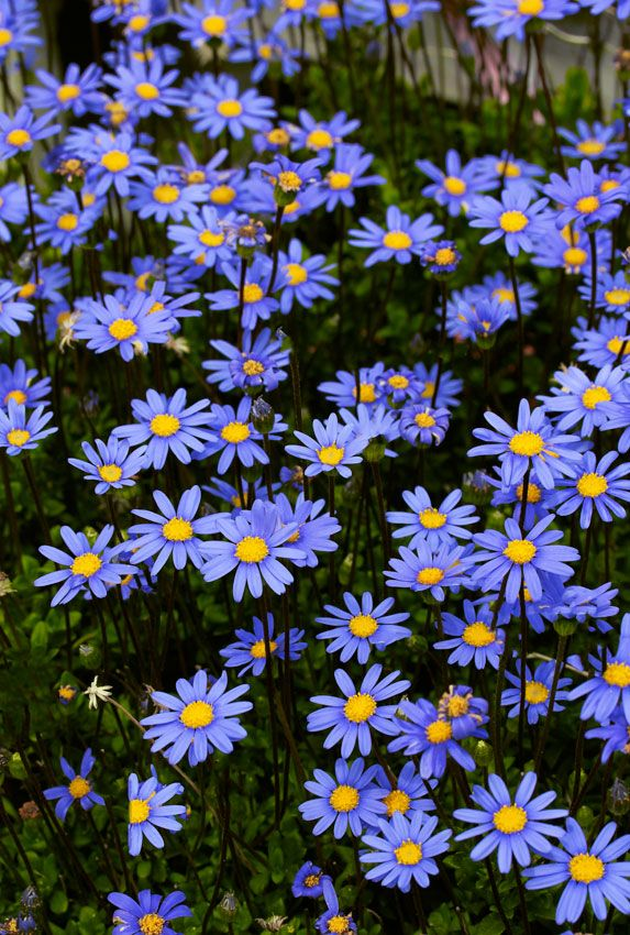 """Felicia aethiopica """"Tight and Tidy""""  Selected by Texas nurseryman Tom Peace, (usually 3' tall) """"Blue Marguerite Daisy"""" that stays a dense 16"""" high & 30"""" wide."""