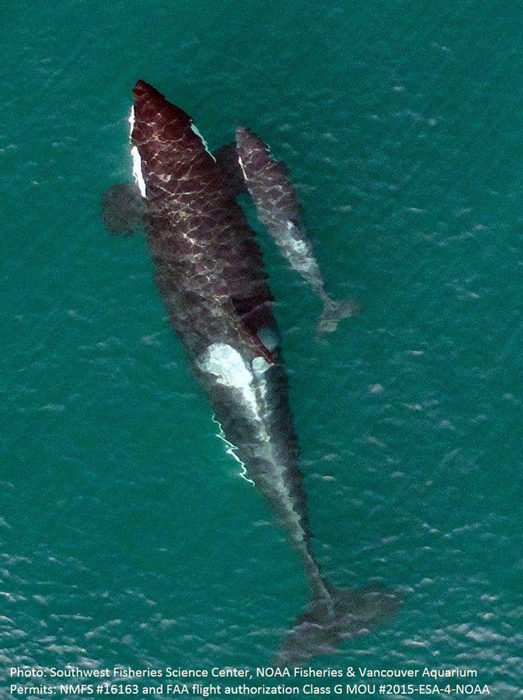 Drone captura imagem aérea de uma baleia orca nadando ao lado de seu filhote nas águas da Colúmbia Britânica, província canadense