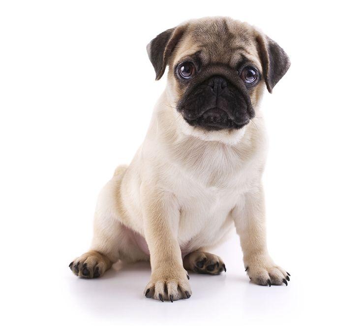 Många hundar får besvär med ögonen. Det här är sju ögonsjukdomar som förekommer hos hund.