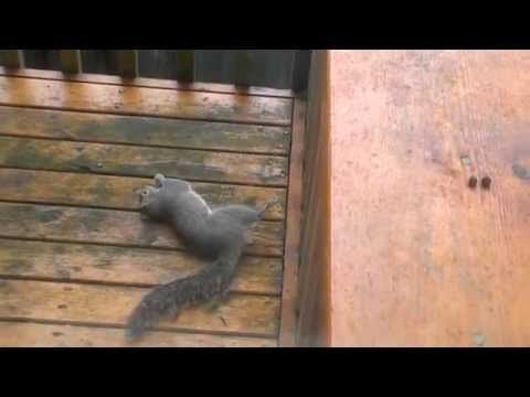 Drunk Squirrel trying to eat nuts - YouTube