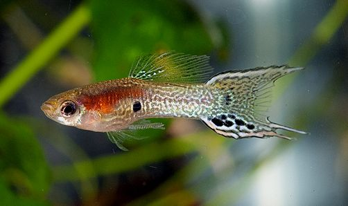Lyretail snakeskin endler cross male guppy guppy fish for Endler guppy
