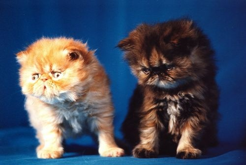 cats: Animal Pics, Cats Pictures, Kitty Cats, Funnies Animal, Adorable Faces, Faces Cats, Persian Cats, Animal Life, Adorable Animal