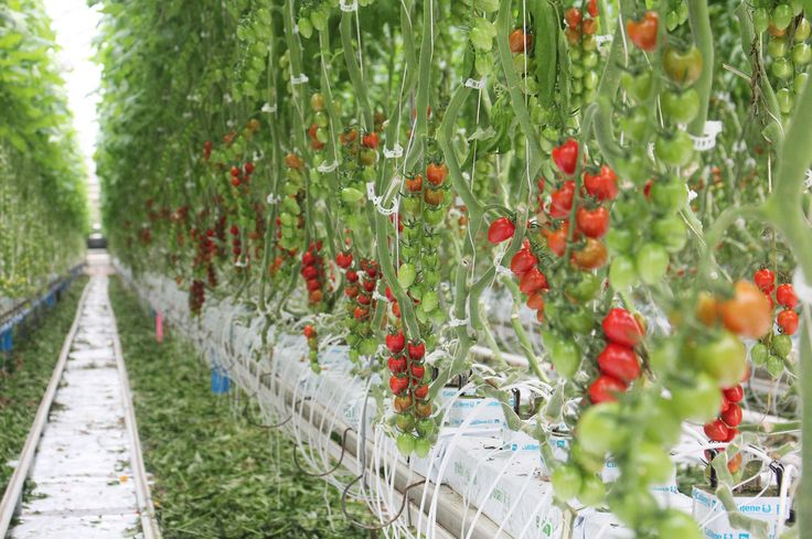 Inside one of Mastronardi Produce Sunset Grown's greenhouses, tomato vines hang on lines that can be adjusted so that the tomatoes are always at a height that's convenient for harvesting.