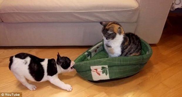 """O filhote de Bulldog Francês Pixel ficou irritado porque o gato resolveu """"roubar"""" a sua cama.  Pixel não desiste fácil e tenta a todo custo tirar o gato de lá.   Vejam que fofo:"""