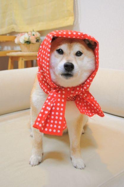 Shiba Inu Little Red Riding Hood!
